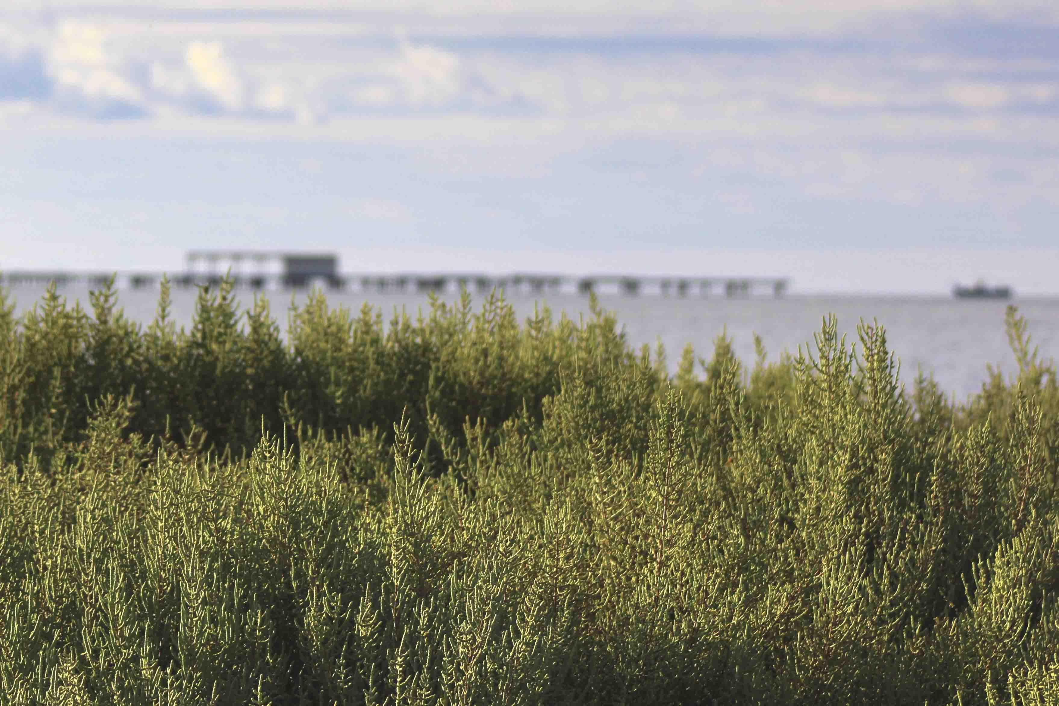 salicornia-delta-ebre-la-rapita