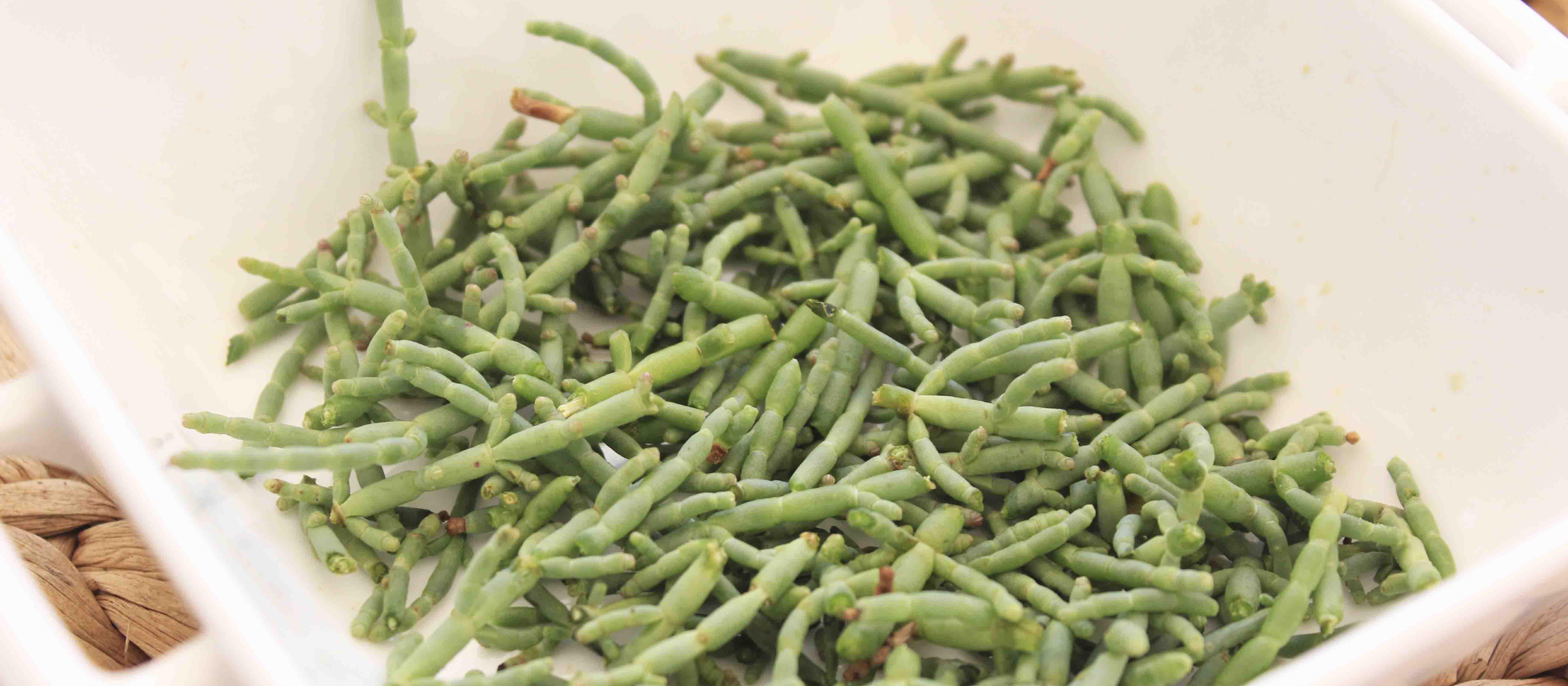 salicornia-delta-ebre-rapita3