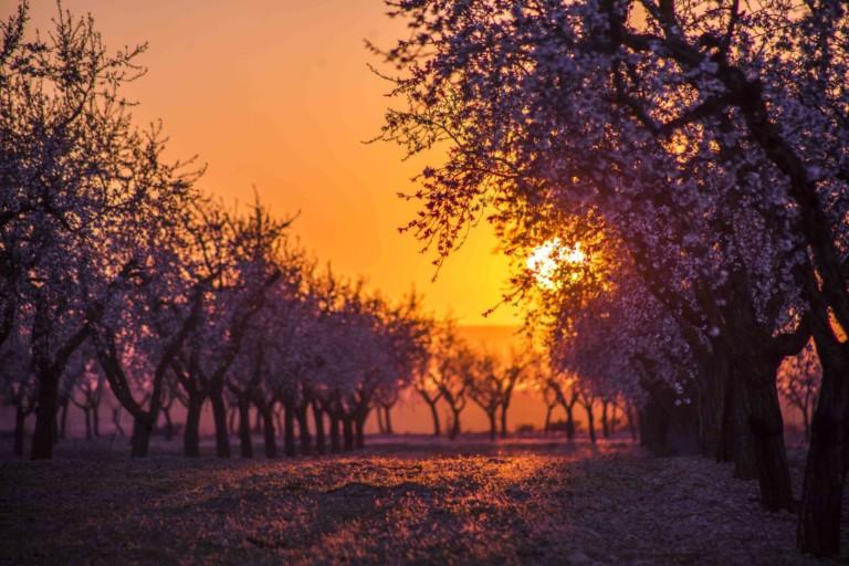 La floració arbequina